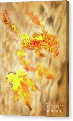 Autumn Fall Color Maple Leaves In The Blue Ridge Ap Canvas Print by Dan Carmichael