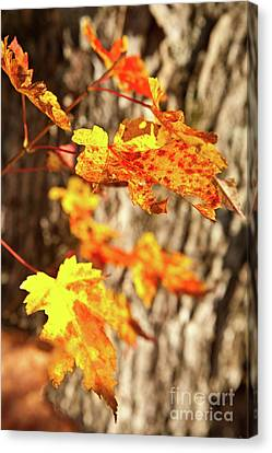 Autumn Fall Color Maple Leaves In The Blue Ridge Canvas Print by Dan Carmichael