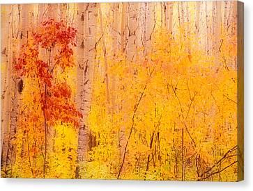 Autumn Forest Wbirch Trees Canada Canvas Print