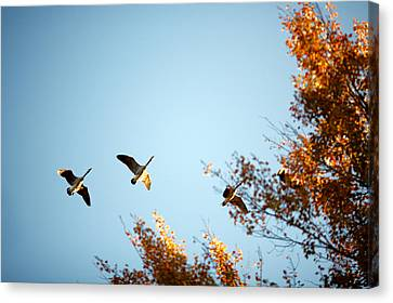 Autumn Geese Canvas Print by Todd Klassy