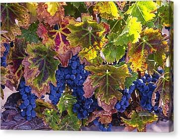 autumn Grapes Canvas Print by Garry Gay