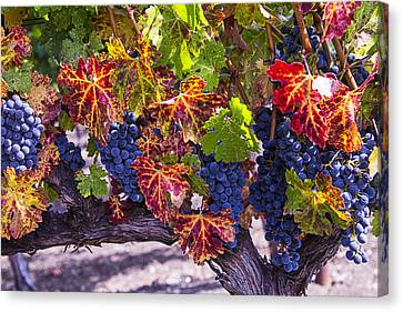 Autumn Grapes Harvest Canvas Print by Garry Gay