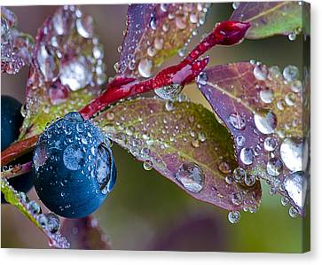 autumn Huckleberry berry and leaves macro in autumn Canvas Print by Ed Book
