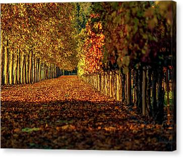 Autumn In Napa Valley Canvas Print by Bill Gallagher
