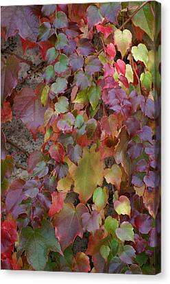 Autumn Ivy Canvas Print by Jessica Rose