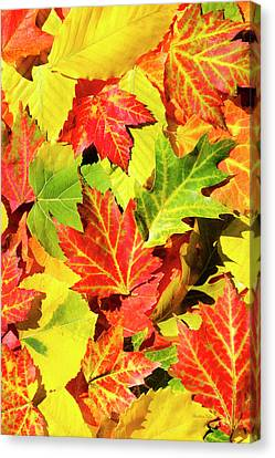 Canvas Print featuring the photograph Autumn Leaves by Christina Rollo
