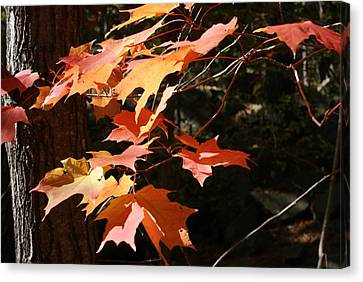 Autumn Leaves Canvas Print by Ron Read