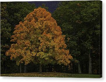 Autumn Maple Canvas Print by Garry Gay