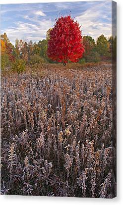 Autumn Maple In Frosted Meadow Canvas Print by Dean Pennala