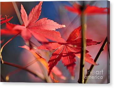 Autumn Maple Canvas Print by Kaye Menner