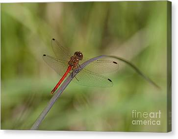 Autumn Meadowhawk Canvas Print