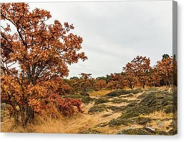 Autumn Oaks 3 Canvas Print