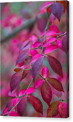 Autumn Pink And Purple Canvas Print by Karol Livote