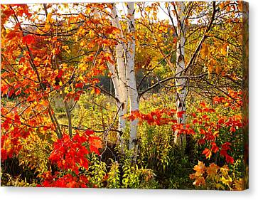 Autumn Scene With Red Leaves And White Birch Trees, Nova Scotia Canvas Print