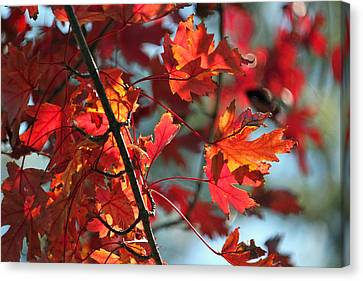 Autumn Series Canvas Print by Suzanne Gaff