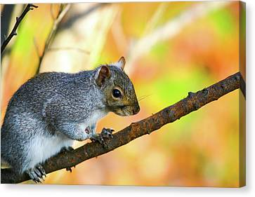 Canvas Print featuring the photograph Autumn Squirrel by Karol Livote