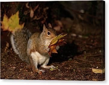 Autumn Squirrel Canvas Print by Matt Malloy