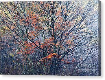 Autumn Sugar Maple In Fog Canvas Print by Thomas R Fletcher