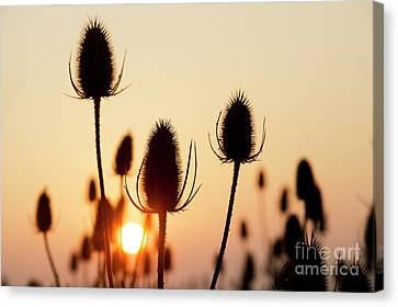 Canvas Print featuring the photograph Autumn Sunrise Teasels by Tim Gainey