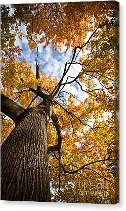 Autumn Tree Canvas Print by Nailia Schwarz