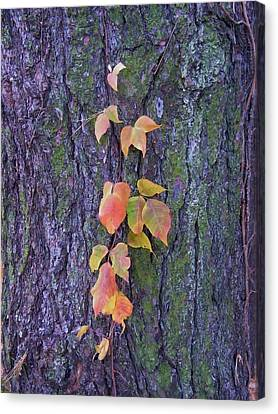 Autumn Vine Leaves On Tree Trunk    Indiana Canvas Print by Rory Cubel