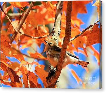 Canvas Print featuring the photograph Autumn Warbler by Debbie Stahre