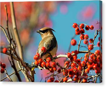 Autumn Waxwing Canvas Print by Mike Dawson
