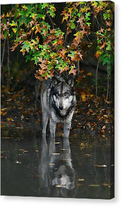 Canvas Print featuring the photograph Autumn Wolf by Shari Jardina