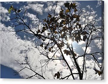 Autumn Yellow Back-lit Tree Branch Canvas Print