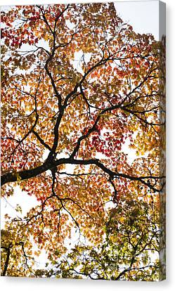 Autumnal Acer Palmatum Canvas Print by Tim Gainey