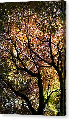 Autumnal Acer Palmatum Westonbirt Orange Canvas Print by Tim Gainey