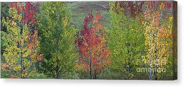 Fiery Red Canvas Print - Autumnal Aspen Trees Panoramic by Tim Gainey