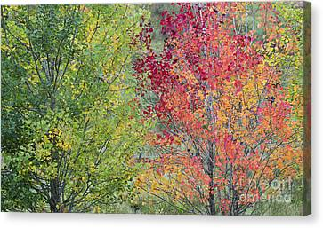 Autumnal Aspen Trees Canvas Print