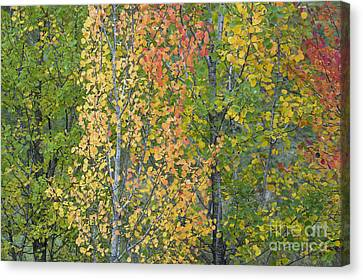 Fiery Red Canvas Print - Autumnal Aspens by Tim Gainey