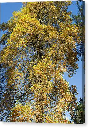 Autumnal Tulip Tree Canvas Print by Tim Gainey