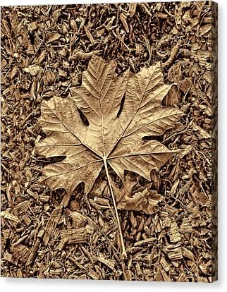 Autumn's Maple Leaf Sepia  Canvas Print by Jennie Marie Schell