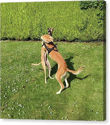 Ava The Saluki And Finly The Lurcher Canvas Print by John Edwards