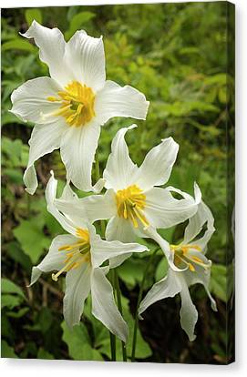 Avalanche Lily Canvas Print by Loree Johnson