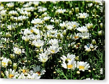 Canvas Print featuring the photograph Avalanche Sun Daises by Monte Stevens