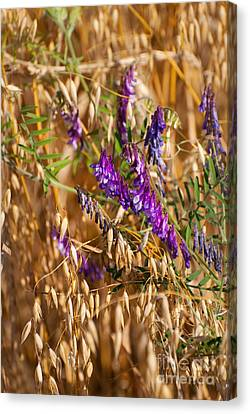 Avena Or Oats And Vicia Flowers Grow In Field  Canvas Print