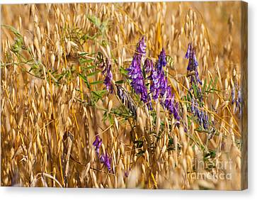 Avena Or Oats And Vicia Grow In Field  Canvas Print