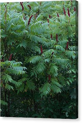 Canvas Print - Awaiting The Sumac by Guy Ricketts