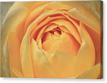Awakening Yellow Bare Root Rose Canvas Print by Ryan Kelly