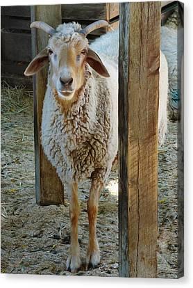 Awassi Sheep Canvas Print