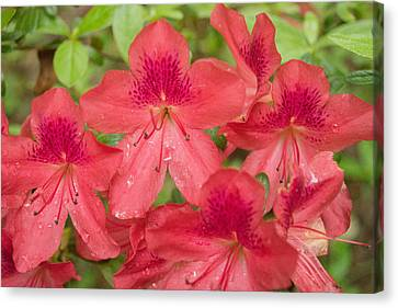 Azalea Blossoms Canvas Print