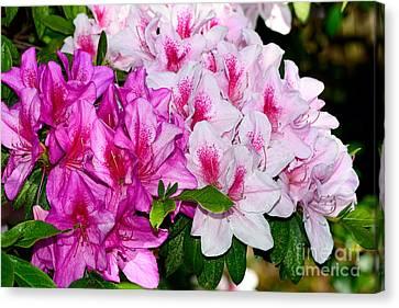 Azalea Garden By Kaye Menner Canvas Print by Kaye Menner
