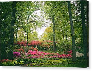 Azalea Hillside Canvas Print by Jessica Jenney