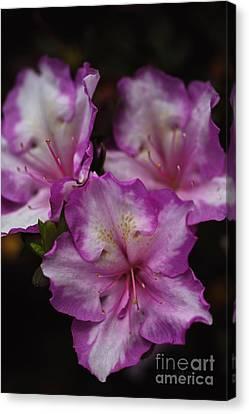 Azalea In Flower Canvas Print by Joy Watson