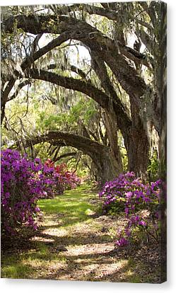 Live Oaks Canvas Print - Azaleas And Live Oaks At Magnolia Plantation Gardens by Dustin K Ryan