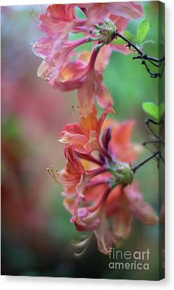 Depth Of Field Canvas Print - Azaleas Cluster Of Flowers by Mike Reid